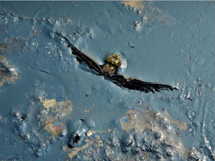 dragonfly caught in oil slick